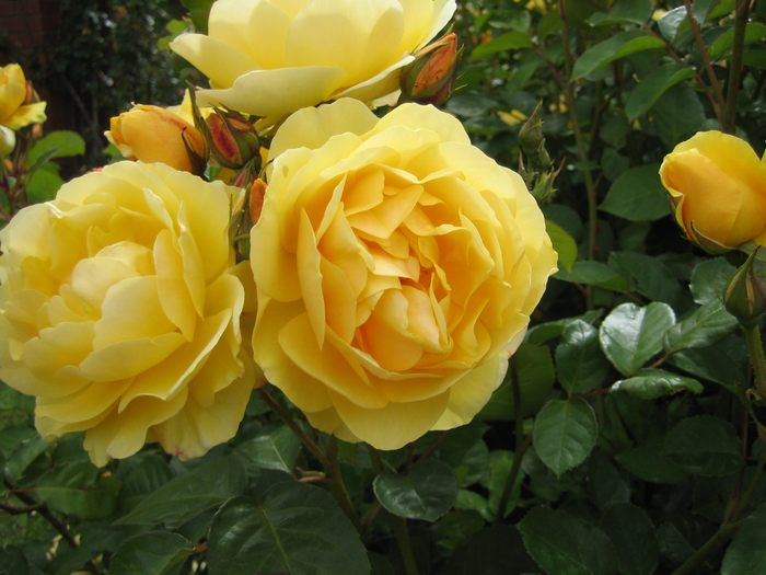 Different Types Of Roses